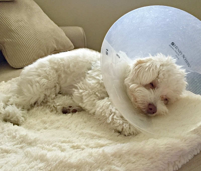 Rudy in his cone via A Lady Goes West
