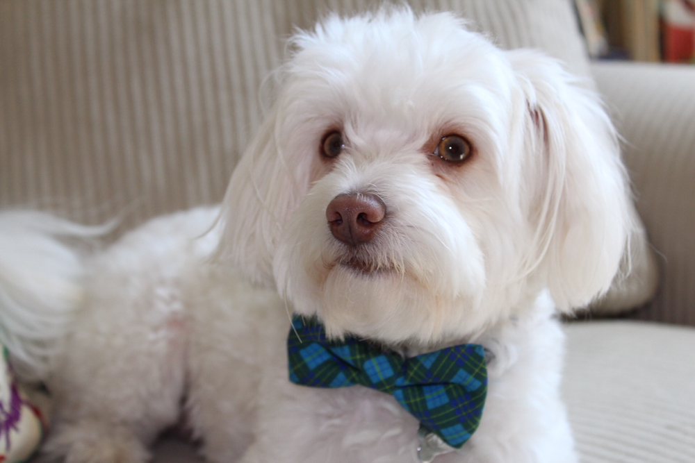 Rudy the maltipoo in a bow-tie by A Lady Goes West
