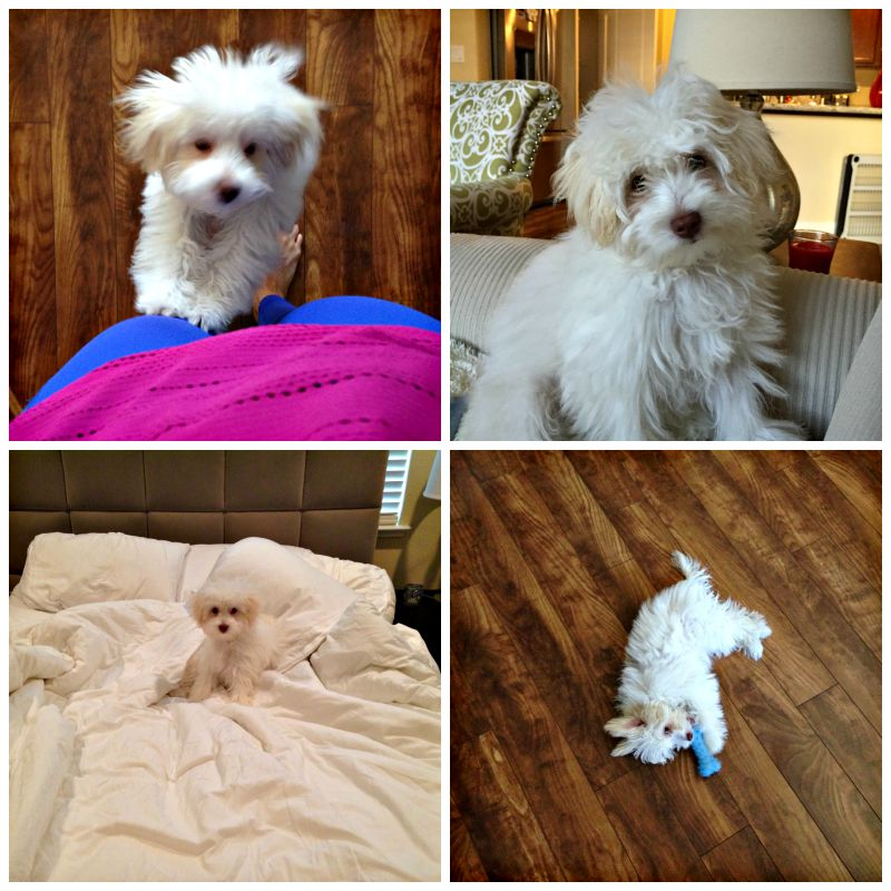 Pictures of Rudy the Maltipoo via A Lady Goes West