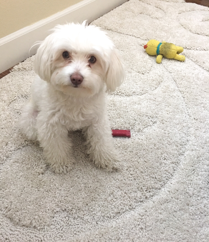Rudy the maltipoo by A Lady Goes West